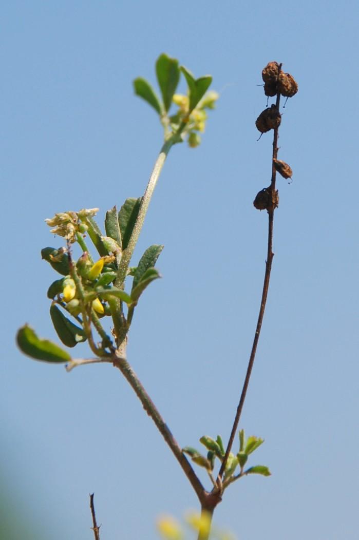 Melilotus indicus 3