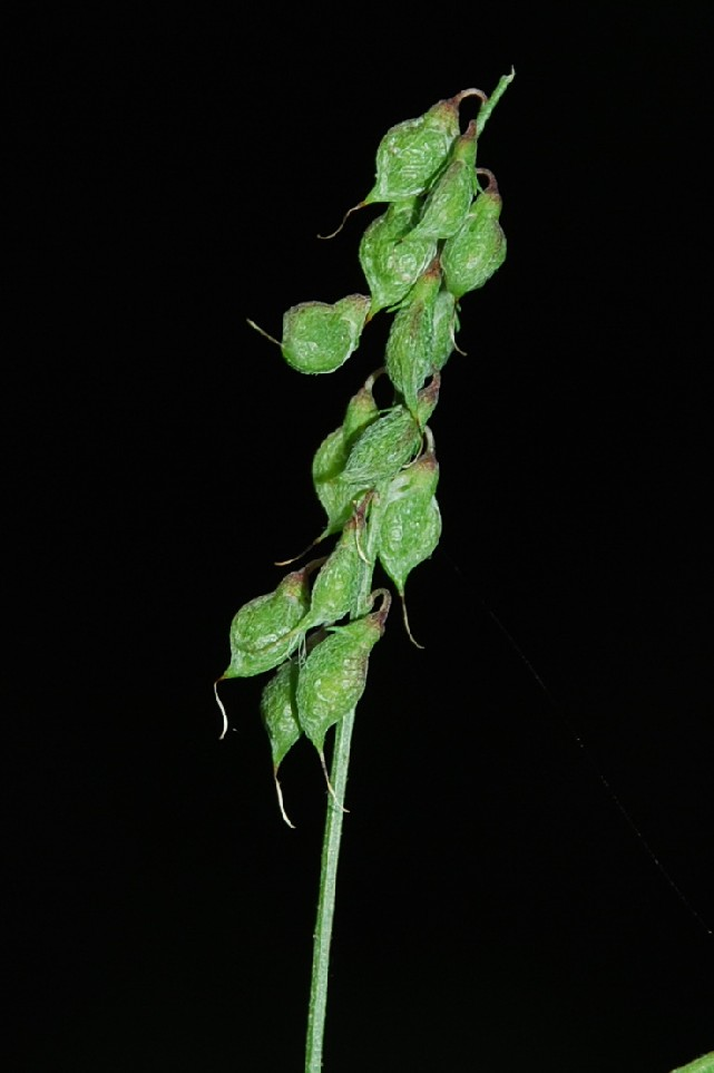Melilotus officinalis 4