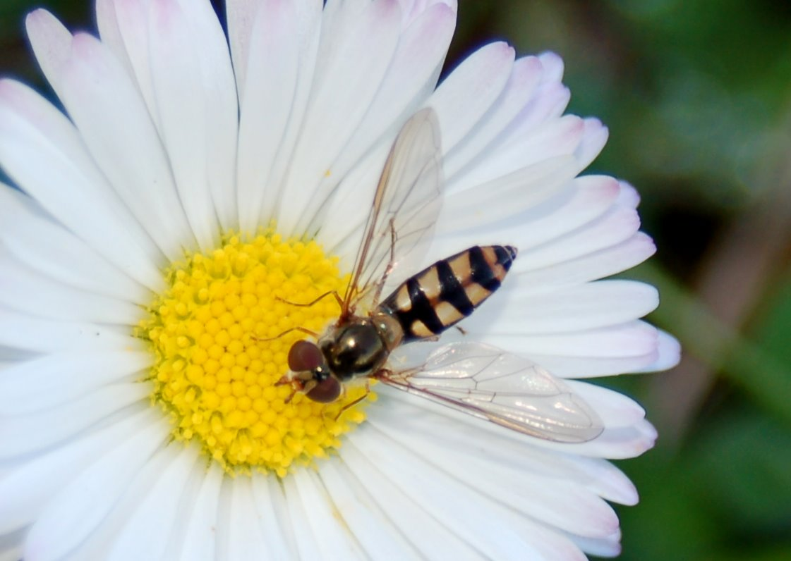 Meliscaeva auricollis - Syrphidae