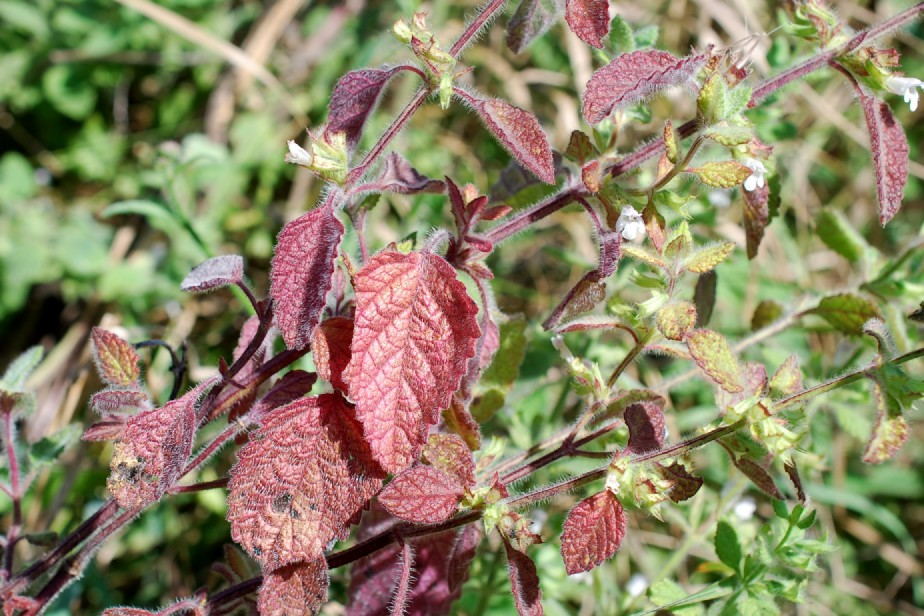 Melissa officinalis subsp. officinalis 17