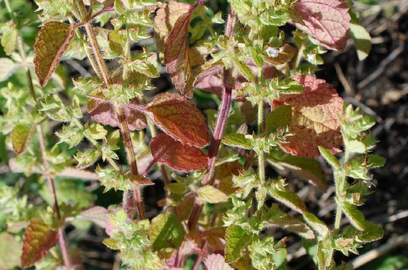 Melissa officinalis subsp. officinalis 18
