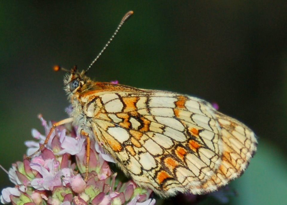 Melitaea athalia - Nymphalidae