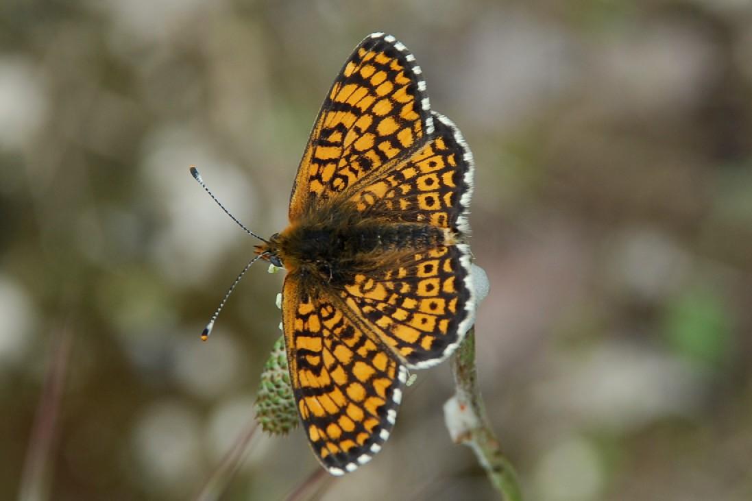 Melitaea cinxia -  Nymphalidae