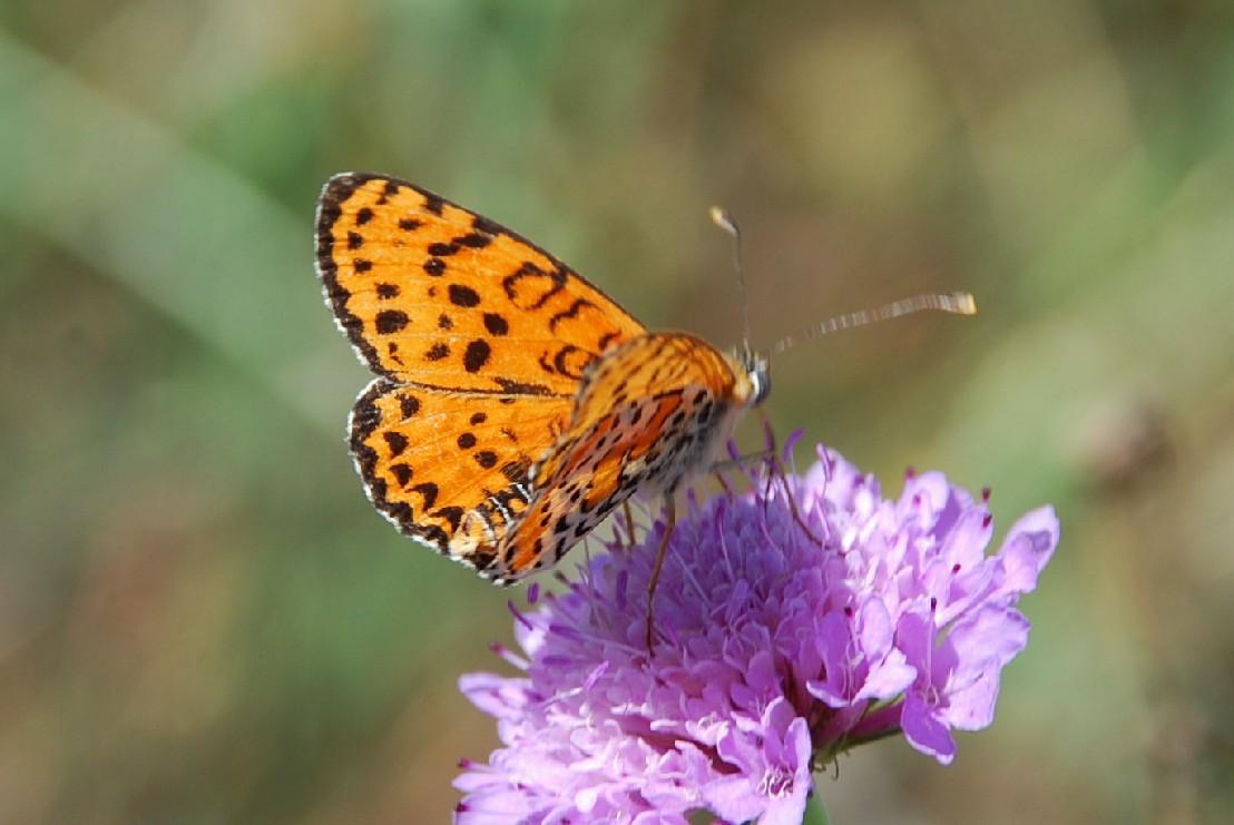 Melitaea didyma - Nymphalidae