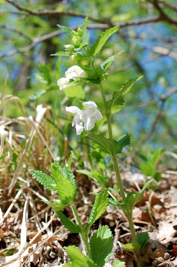 Melittis melissophyllum subsp. melissophyllum 15