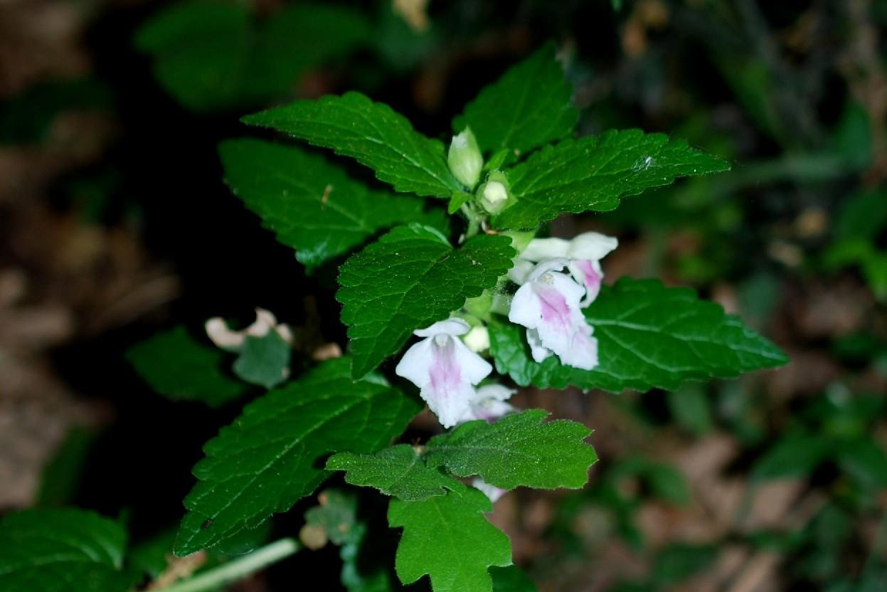 Melittis melissophyllum subsp. melissophyllum 17