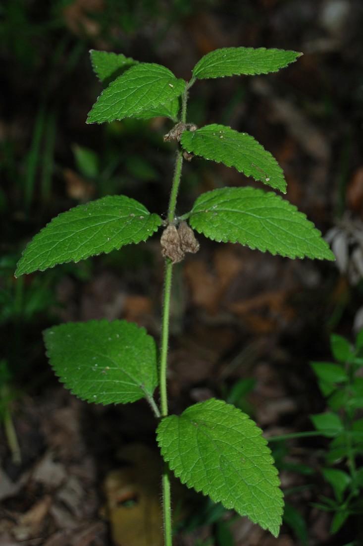 Melittis melissophyllum subsp. melissophyllum 7