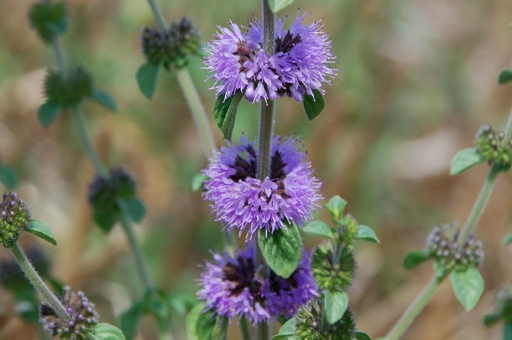 Mentha pulegium subsp. pulegium