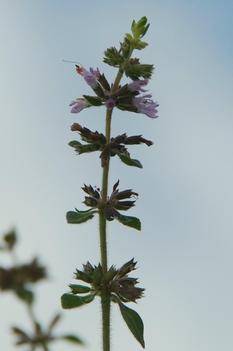 Mentha pulegium subsp. pulegium 14