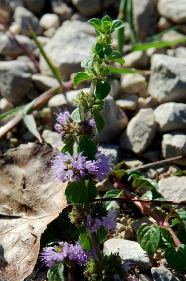Mentha pulegium subsp. pulegium 2