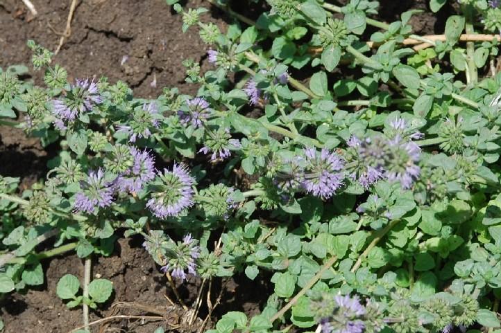 Mentha pulegium subsp. pulegium 20