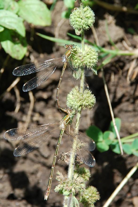 Mentha pulegium subsp. pulegium 21