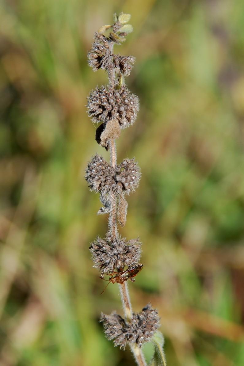 Mentha pulegium subsp. pulegium 6