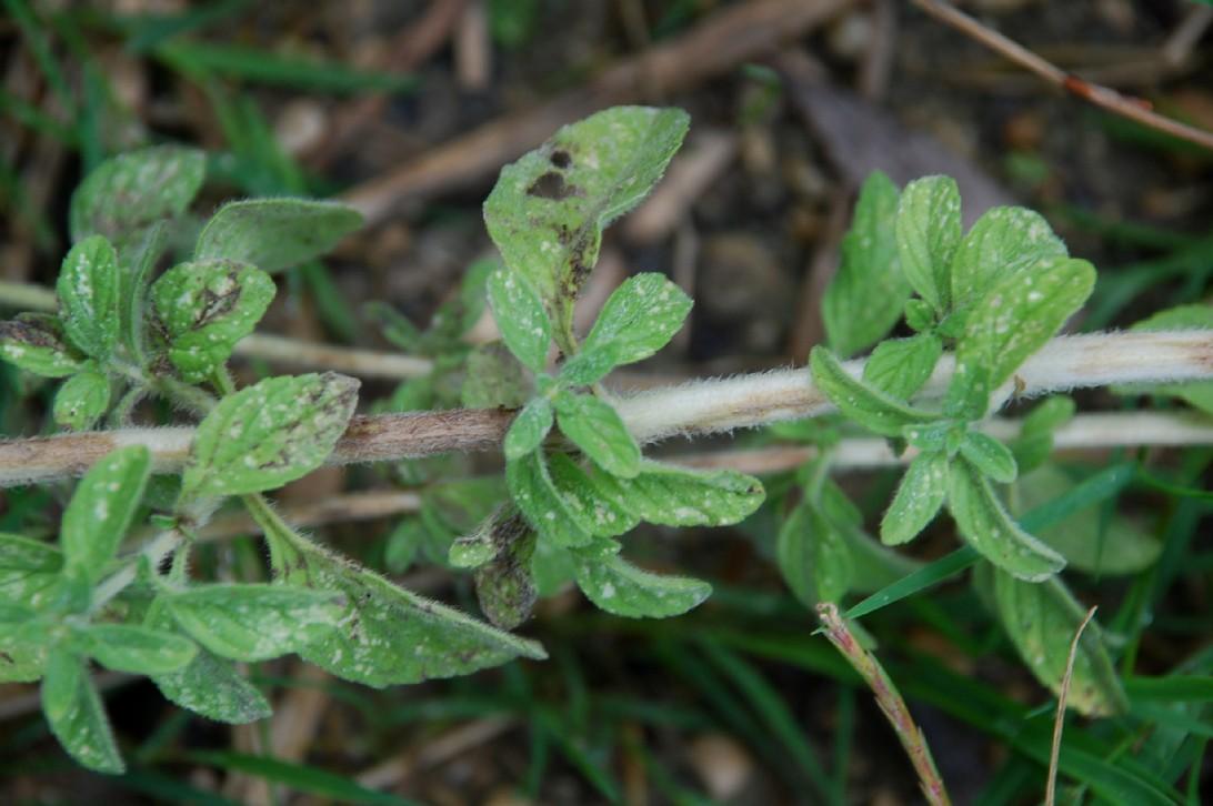 Mentha pulegium subsp. pulegium 9