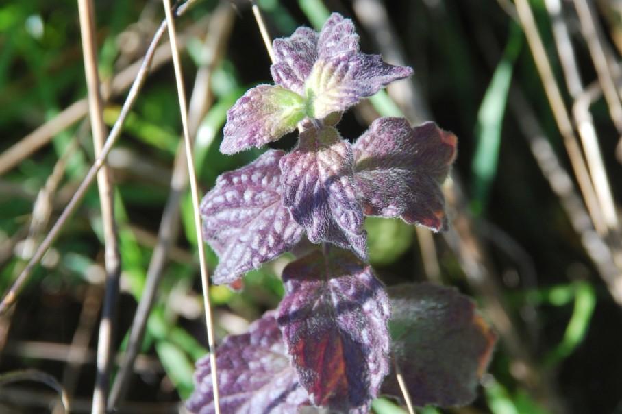 Mentha spicata subsp. spicata 44