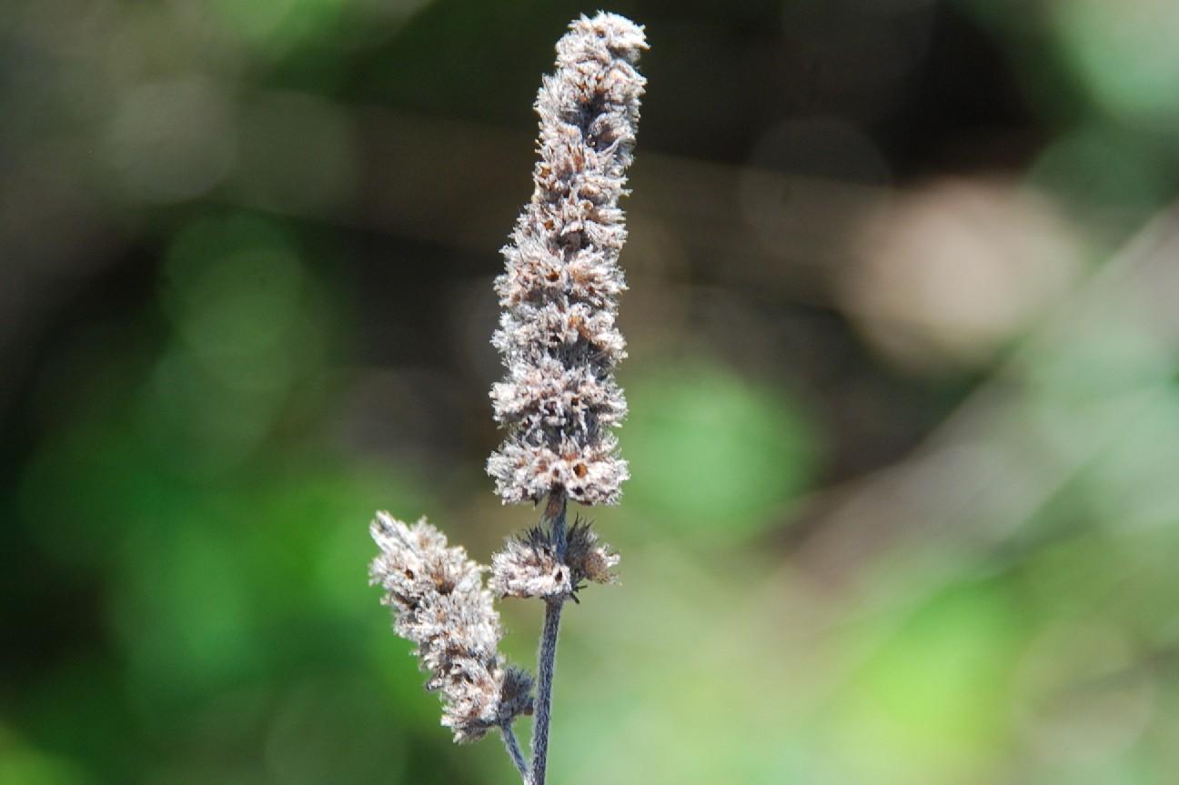 Mentha spicata subsp. spicata 46