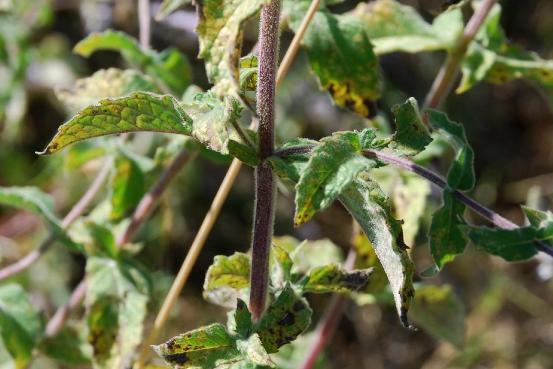 Mentha spicata subsp. spicata 48