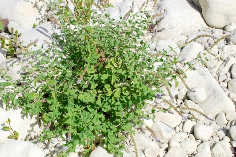 Mentha spicata subsp. spicata 53