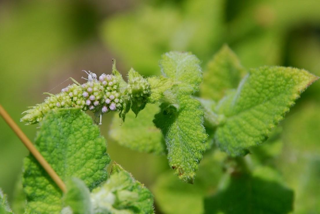Mentha suaevolens subsp. suaevolens 10