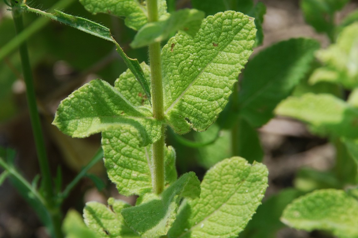 Mentha suaevolens subsp. suaevolens 12