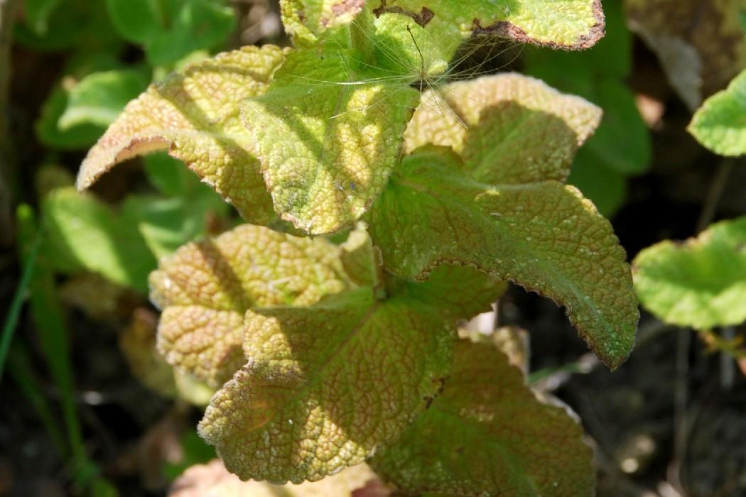 Mentha suaevolens subsp. suaevolens 13