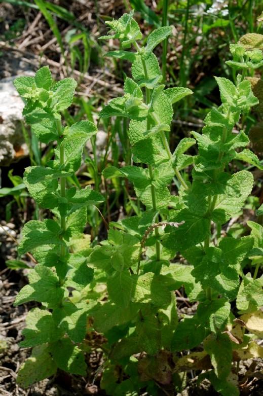 Mentha suaevolens subsp. suaevolens 15