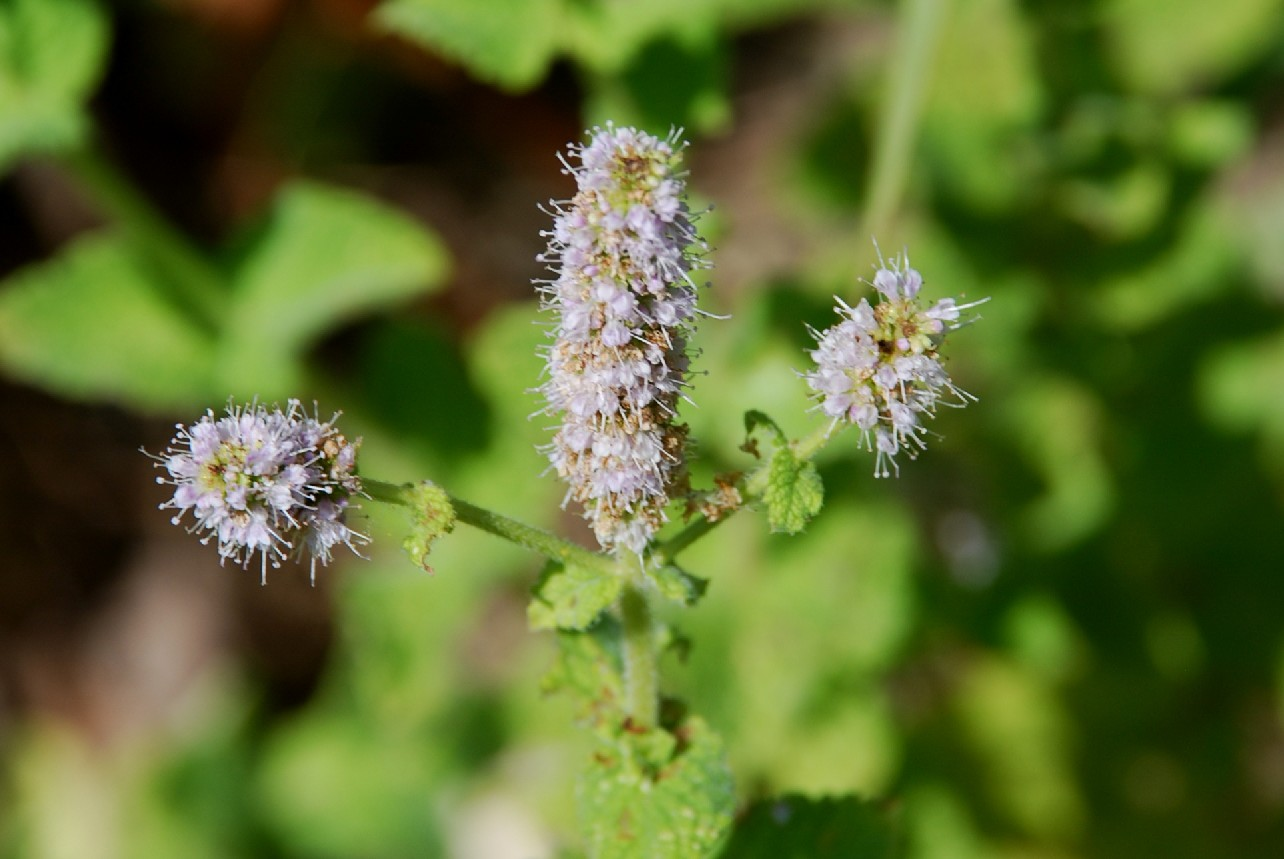 Mentha suaevolens subsp. suaevolens 17