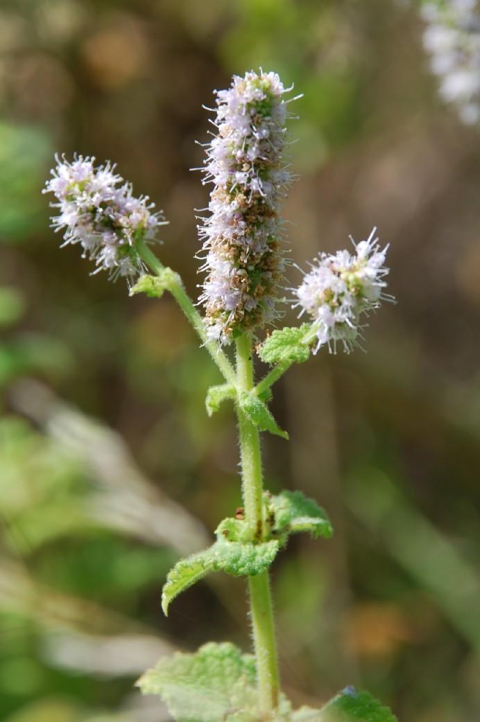 Mentha suaevolens subsp. suaevolens 18