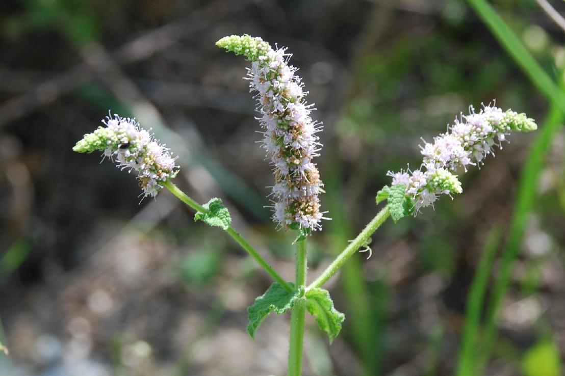 Mentha suaevolens subsp. suaevolens 19