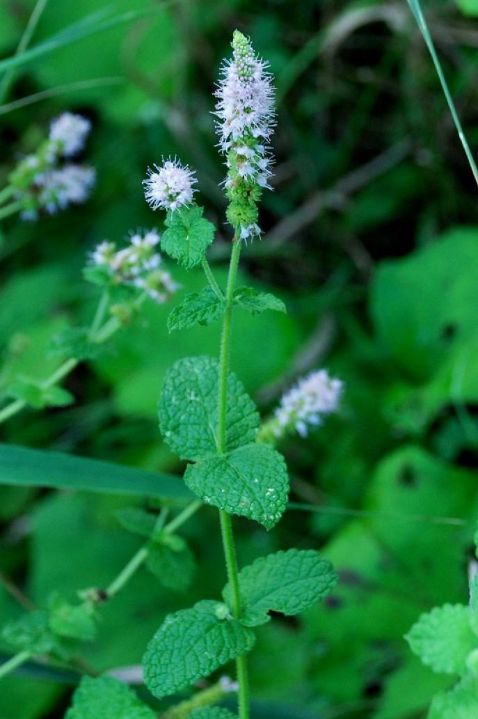 Mentha suaevolens subsp. suaevolens 2