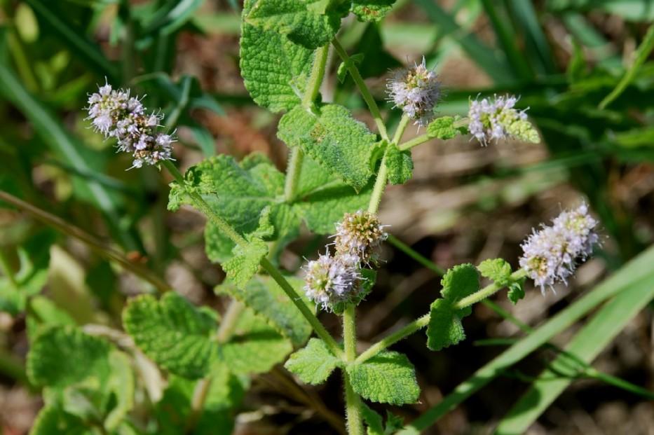 Mentha suaevolens subsp. suaevolens 20