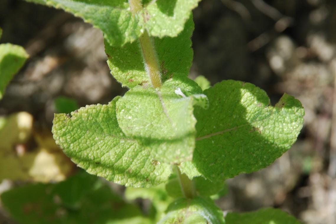 Mentha suaevolens subsp. suaevolens 21
