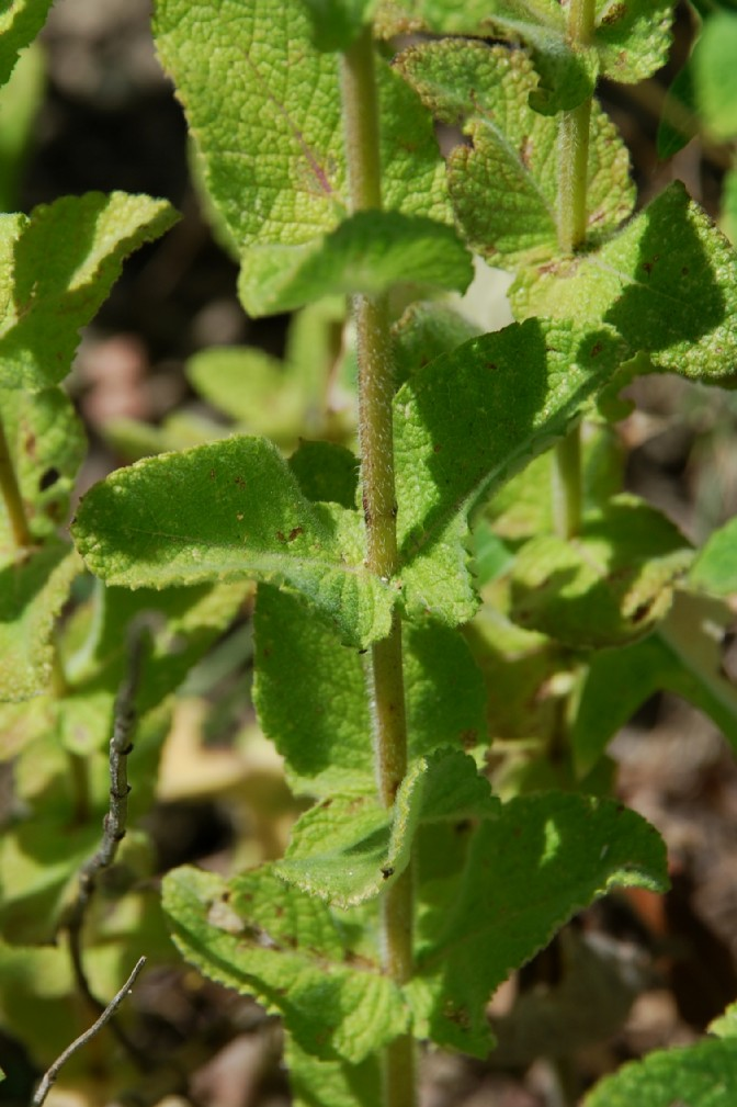 Mentha suaevolens subsp. suaevolens 22