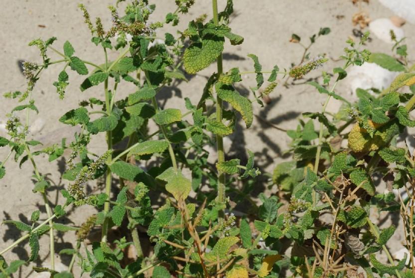Mentha suaevolens subsp. suaevolens 26