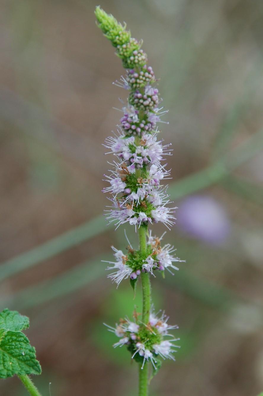 Mentha suaevolens subsp. suaevolens 4