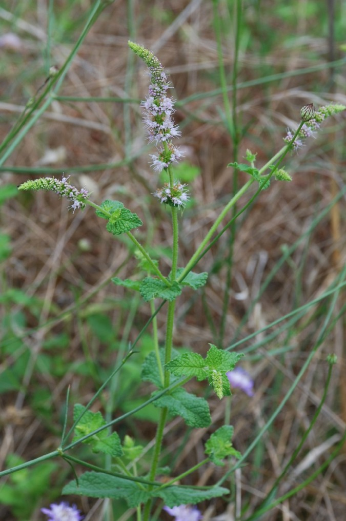 Mentha suaevolens subsp. suaevolens 6