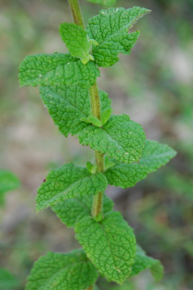 Mentha suaevolens subsp. suaevolens 8