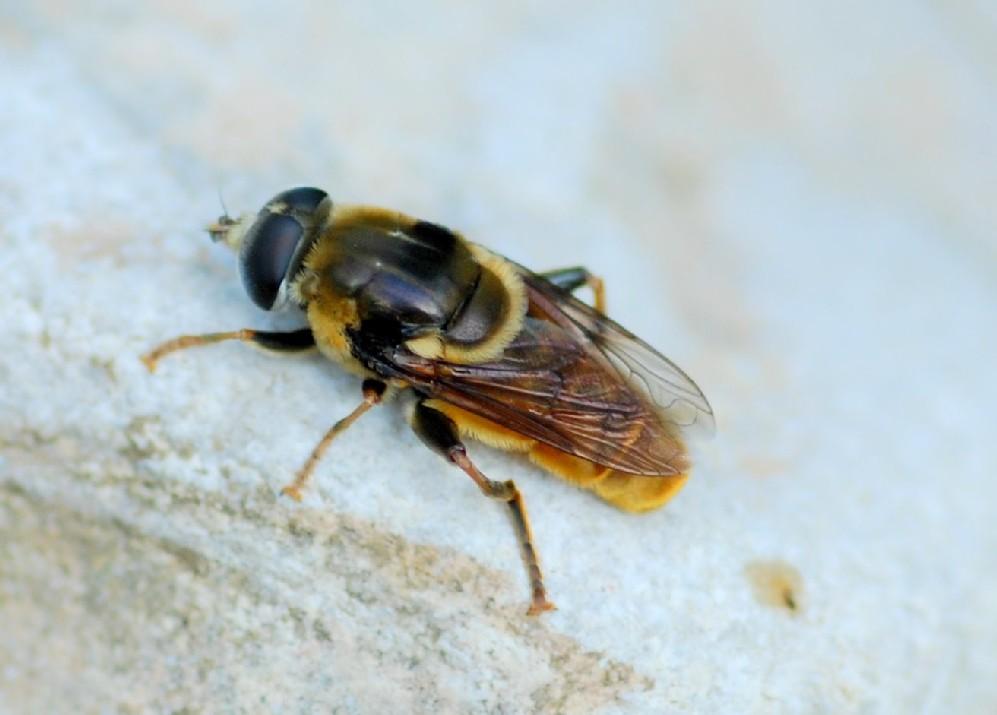 Merodon sp. - Syrphidae