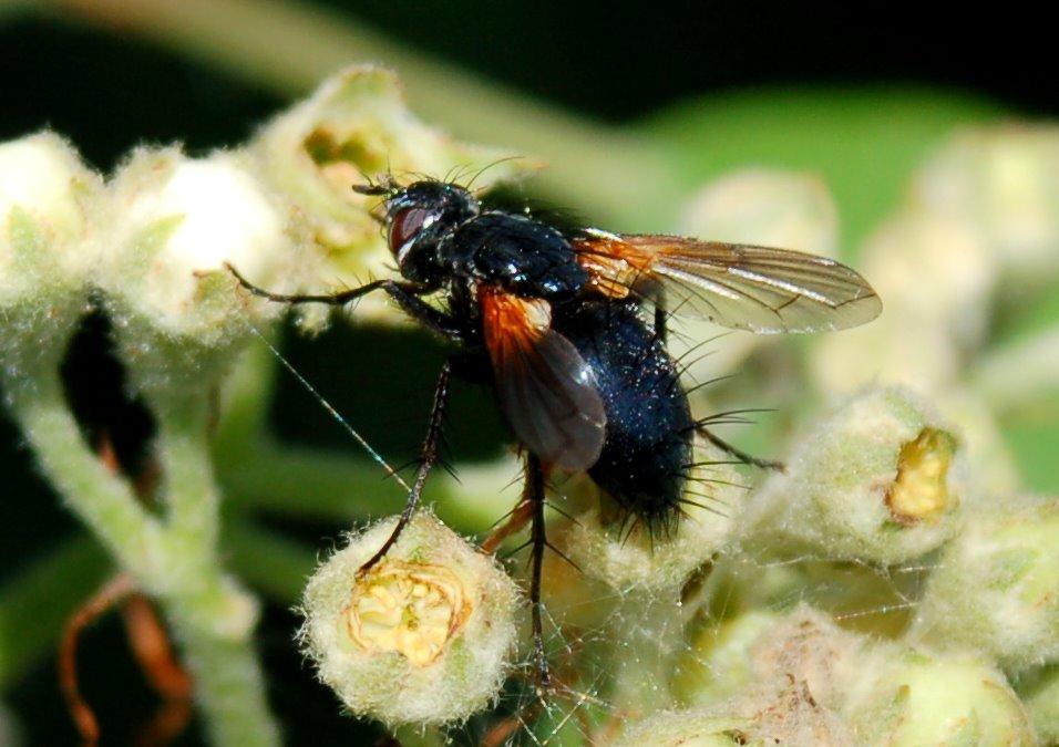 Mesembrina meridiana - Muscidae