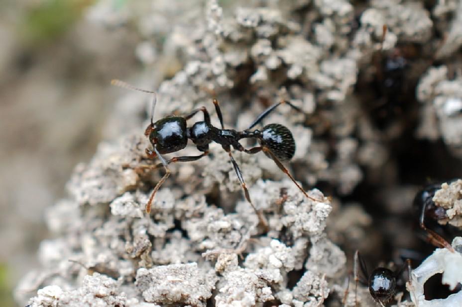 Messor sp. - Formicidae