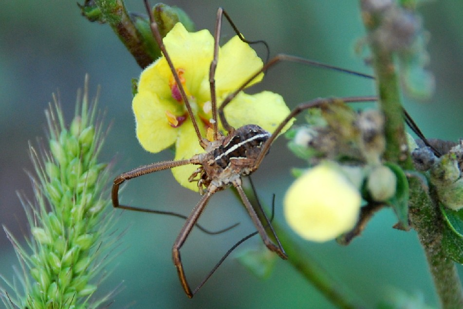 Metaphalangium cirtanum - Phalangiidae