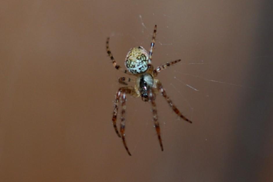 Metellina sp. - Tetragnathidae