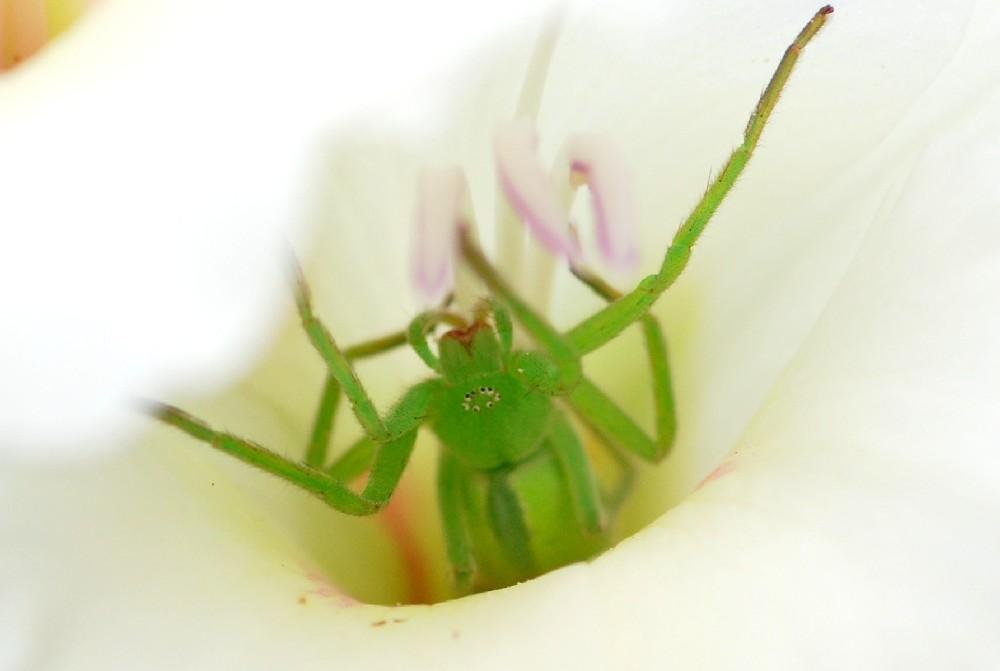 Micrommata virescens - Sparassidae