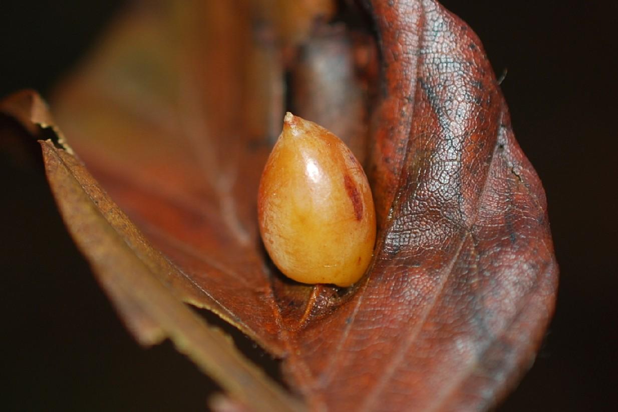 Mikiola fagi - Diptera, Cecidomyiidae