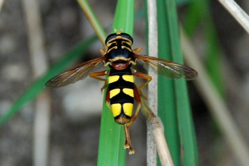 Milesia semiluctifera - Syrphidae