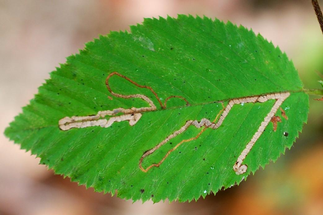 Mine fogliari su Ostrya carpinifolia - Carpino nero