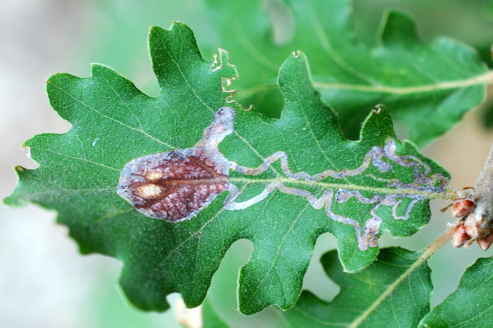 Mine fogliari su Quercus pubescens  - Roverella 2