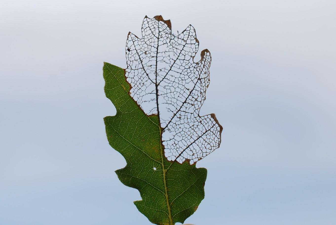 Mine fogliari su Quercus pubescens - Roverella 5