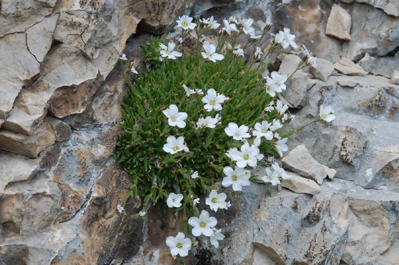 Minuartia graminifolia subsp. rosani