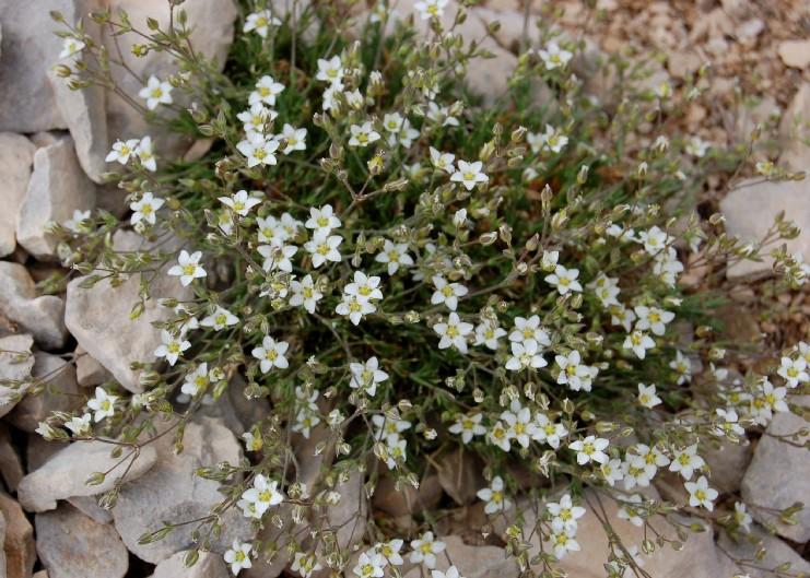 Minuartia verna subsp. attica